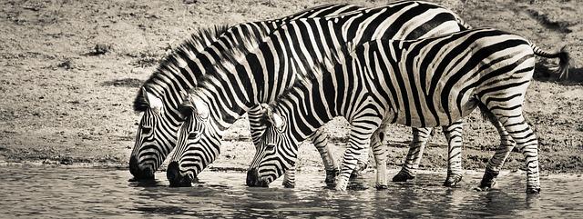cebras-bebiendo-en-un-rio